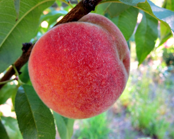 Nanaimo Peach ripe
