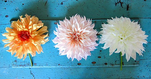 Dinnerplate Dahlias Big Brother, Cafe au Lait, Fleurel