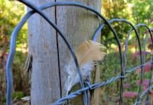 buff orpington feather