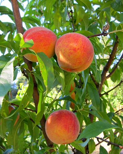 nanaimo peach fruit