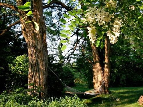 black-locust-tree-hammock