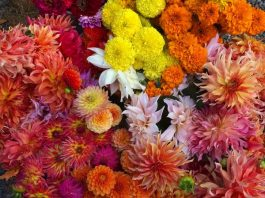 Greenhouse grown beauties: dahlias, zinnias, and giant marigolds