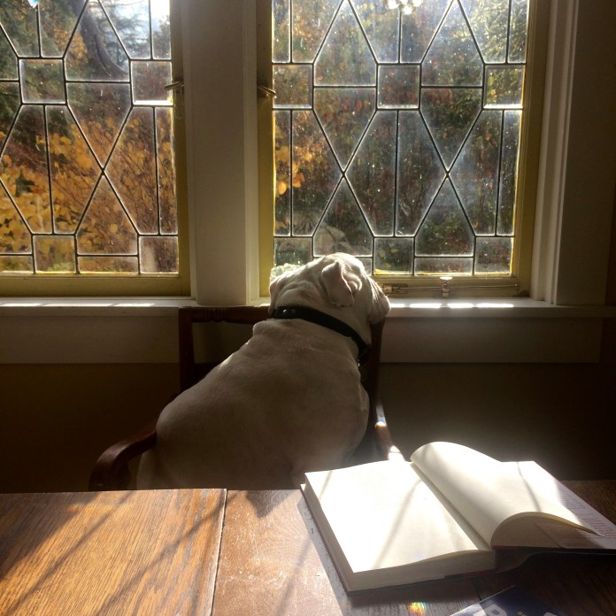 Buddy the bulldog reads