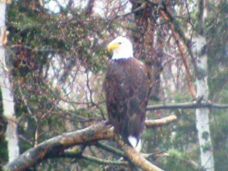 Jon's eagle