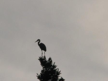 How weird is this blue heron?