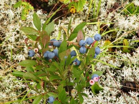 Just look at those things!  Nice big berries this year!