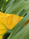Yellow taro, green monstera