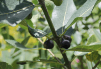 Fruit on the fig bush