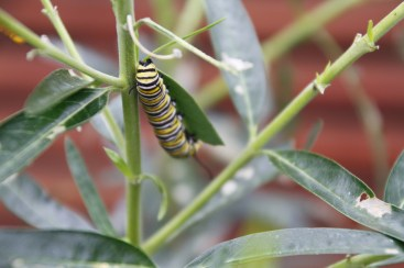 We checked on the Monarch caterpillars a few times