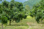 महात्मा गांधी राष्ट्रीय ग्रामीण रोजगार हमी योजनेंतर्गत फळबाग लागवड कार्यक्रम