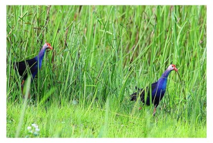 7-Black-Backed Swamphen