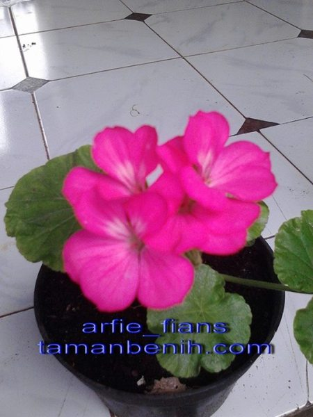 geranium pink1