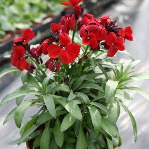 Wallflower- red