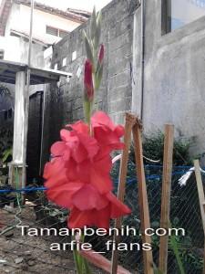 gladiol merah