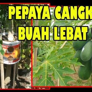 Cara Mencangkok Pohon Pepaya (Papaya Tree Grafting Technique)