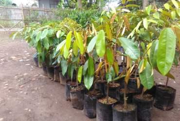 Bibit Durian Berkualitas