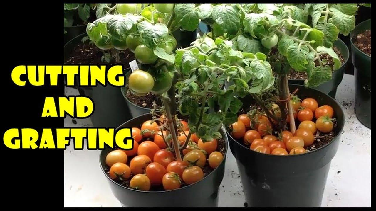 Perbanyak tanaman tomat dengan stek air