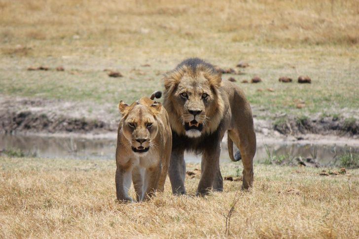 ライオン 狩り