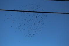 Flock of Birds Over Tamaqua, 11-25-2015 (32)