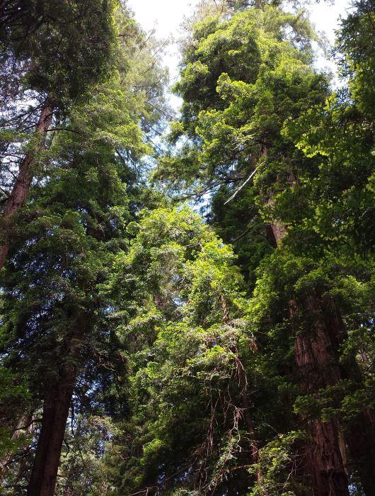 Muir Woods, Tamara Central