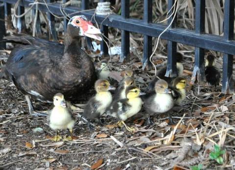 ducklings6
