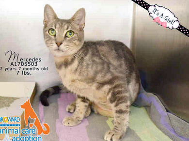 MERCEDES - ID#A1705503 I am a spayed female, gray tab Domestic Shorthair. The shelter staff think I am about 2 years and 8 months old. I have been at the shelter since Nov 23, 2014.