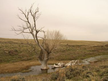 Cottonwood still standing