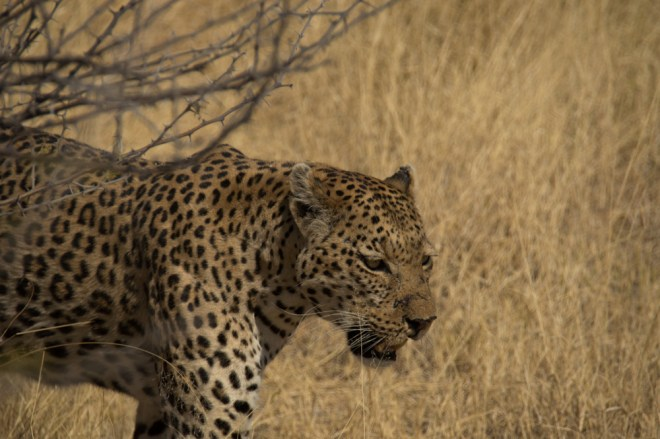 leopard, Botswana, Africa, Moremi National Park