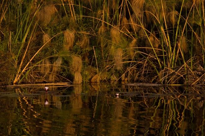 papyrus, Okavango Delta, Botswana
