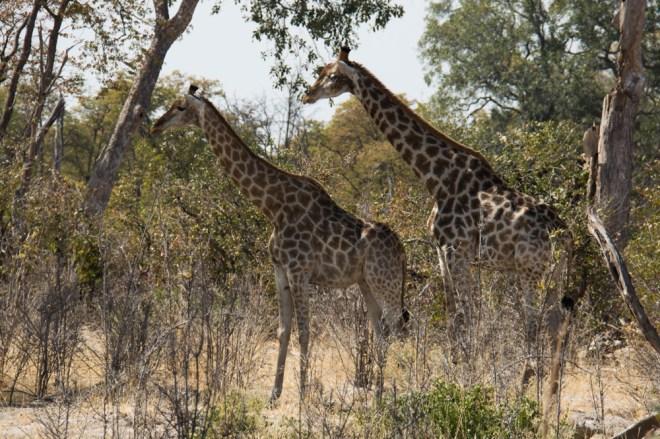 giraffe, Moremi National Park, Botswana
