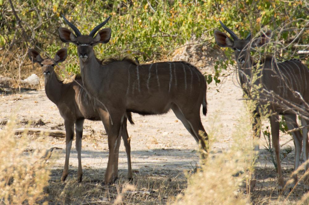 kudu, Moremi National Park, Botswana
