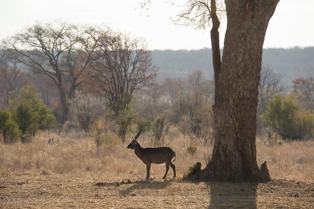 Hwange National park, Zimbabwe, water buck