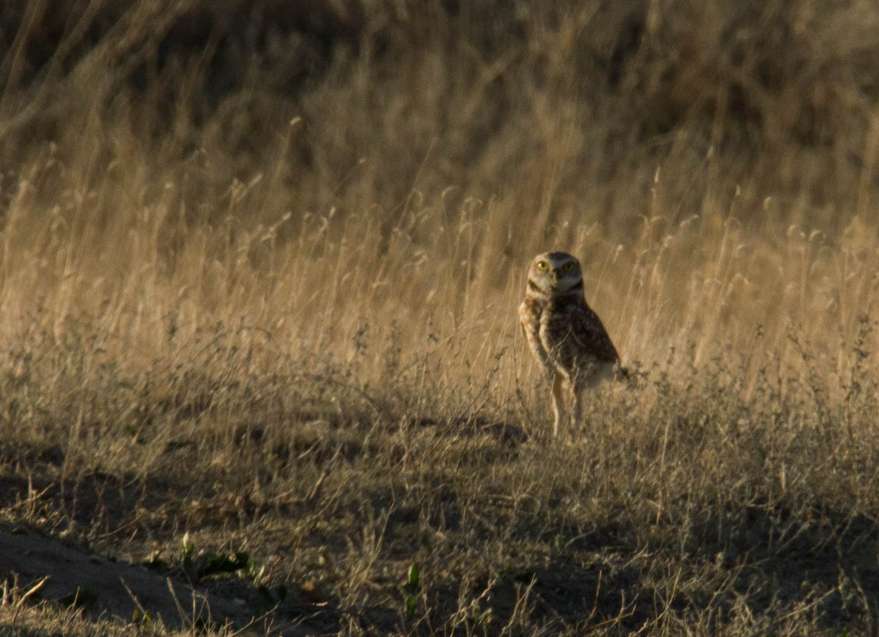 burrowing owl, nebraska, Crescent Lake National Wildlife Refuge