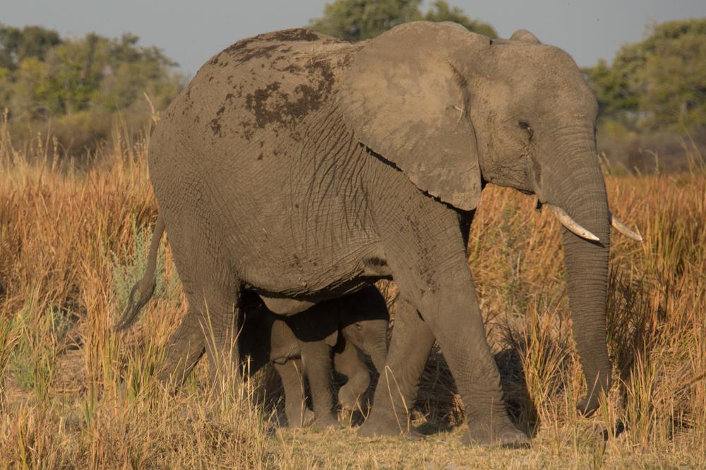 African elephant, calf, Africa