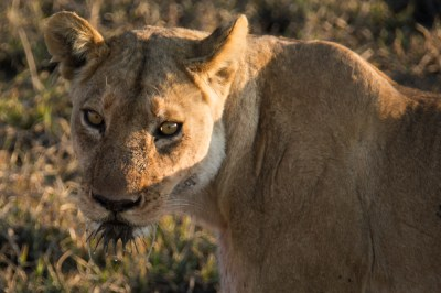 Lioness with wet whiskers