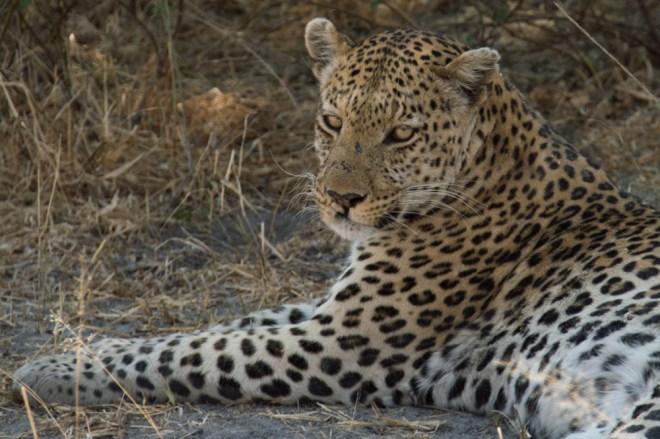 Leopard, Africa, Botswana, Moremi National Park