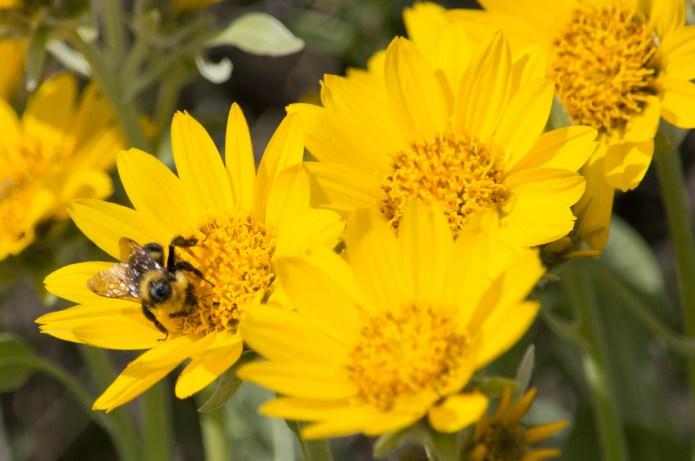 glowing yellow flowers bumblebee