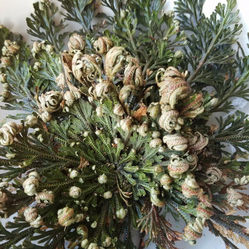 Grow a Resurrection Plant