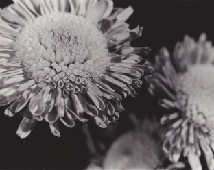 Flower, traditional B&W photography, $45.00