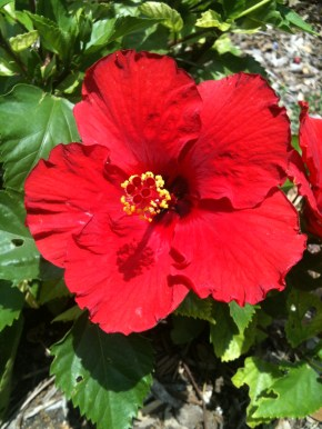 Red Hibiscus, digital photography, prices starting at $25.00
