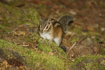 Ground squirrell, North Cascades National Park, WA
