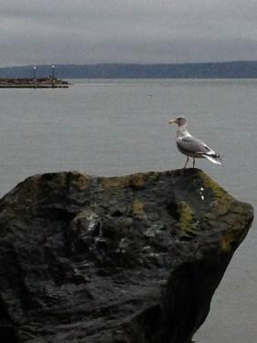 Seagull, Whidbey Island, WA