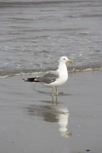 Seagull, Fort Stevens State Park, OR