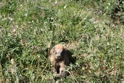 Marmot, Olympic National Park, WA