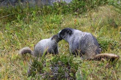 Marmots near Harmony Lake, Whistler Mountain, BC, Canada