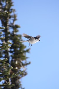 Gray jay (camp robber,) Olympic National Park, WA