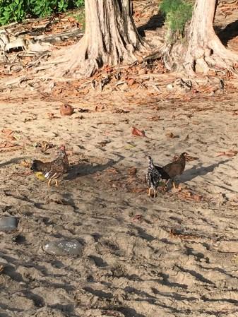 Ke'e Beach chickens