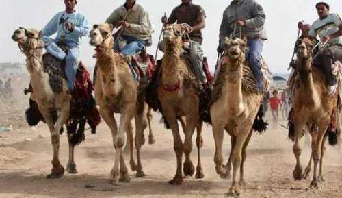 Palestinians ride camels during a competition in Dear al-Balah