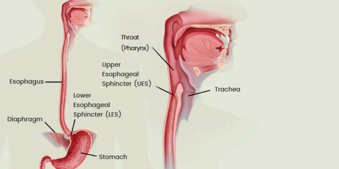 Esophagus