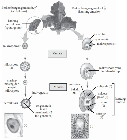 Gametogenesis pada Angiospermae